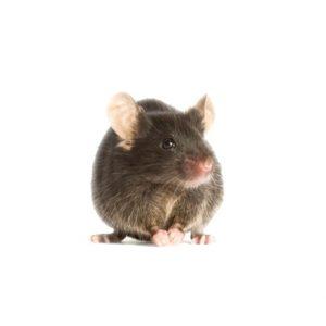 mouse pest control dublin