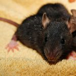house rat pest dublin